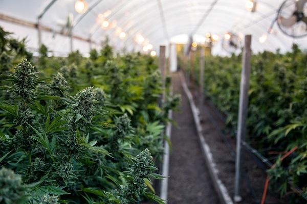 CBDオイル・大麻リキッドで逮捕されたら|急増する大麻関連事件を弁護士が解説